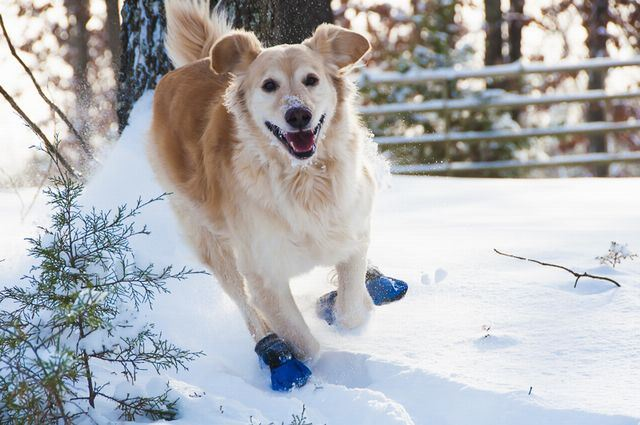 Dog Wearing Booties in Snow